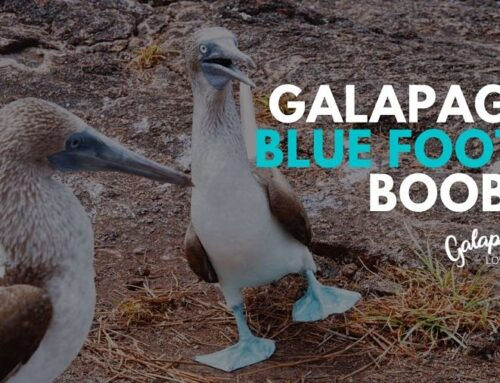 Blue Footed Boobies – Galapagos is their favorite breeding spot
