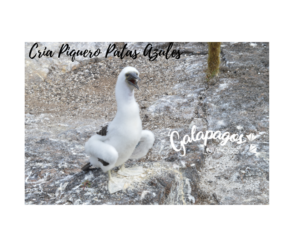 baby blue footed boobies