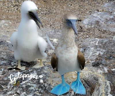blue footed booby baby